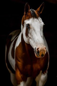 Gorgeous Paint Horse with blue eyes, white pretty face and pink snugly nose! What lovely red and white coloring.