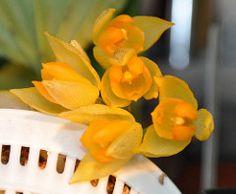 Sievekingia suavis (douneika) Tags: orchid orchidaceae orquidea orchidea sievekingia suavis