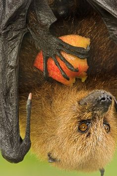 Fruit Bat eating an apple
