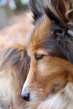 Sheltie Sunday, Shetland Sheepdogs Photos) Shelties are a very loving and super smart breed they are super cute! Hope you have a happy Sheltie Sunday Animals And Pets, Cute Animals, Shetland Sheepdog Puppies, Herding Dogs, Rough Collie, Dogs And Puppies, Doggies, Sheltie, Scottish Fold