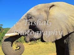 Profile of Elephant on Game Drive or Safari in South Africa Animal Photography Canvas or Print