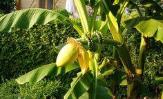 Bananenstauden eignen sich mit einem guten Winterschutz sogar als Gartenpflanzen. So kommen die Exoten gut durch die kalte Jahreszeit.