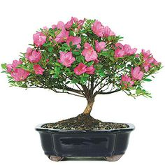 Assuming I kill the one I've got now, here's a bead on a replacement: Satsuki Azalea Bonsai Tree