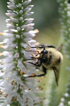 Want to attract Hummingbirds and beneficial bees?  The tubular blooms of Culver's Root do just that!   NRY