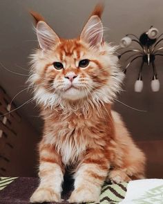 7 Fun Facts About Maine Coon Cats. 🐱 7 Fun Facts About Maine Coon Cats. 🐱,Katzen bilder Fun Facts about Maine Coon Cats and Kittens that show just how interesting and unique the Maine Coon cat breed really is! Gato Maine, Maine Coon Kittens, Cute Kittens, Cats And Kittens, Cats Meowing, Images Of Kittens, Siamese Cats, Fluffy Kittens, Kittens Playing
