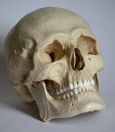 Réplica de cráneo humano masculino por artskulls en Etsy