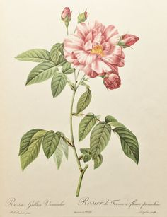 Pierre Redoute Vintage 1950s Botanical Rose Print by PaperPopinjay, $15.00
