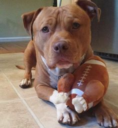 Let's play football. Have you seen my cool chicken Football? Its tasty and funny 😍😎 pitbull pitbulls playinpitbull sportydog sportdog dog dogs Pit pits pitties pitty pitbulllove ilovepitbulls rednose bluenose truefriend humansbestfriend trueeyes Perros Bull Terrier, Perros Pit Bull, Amstaff Terrier, Bull Terrier Dog, Terrier Mix, Cute Puppies, Cute Dogs, Dogs And Puppies, Doggies