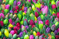 Spring Has Sprung with Dutch Tulips....Love...Love...Love!
