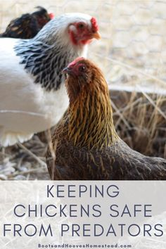 Keeping chickens safe from predators. How to protect your backyard chickens from common predators. #chickens #backyardchickens Keeping Chickens, Raising Chickens, Vegan Kitchen, Kitchen Recipes, Farm Lifestyle, Natural Cleaners, Backyard Chickens, Diy Cleaning Products, Predator