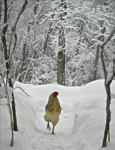 things that I miss, snow and chickens! Snow Scenes, Winter Scenes, Beautiful Birds, Animals Beautiful, Farm Animals, Cute Animals, I Love Snow, Chickens And Roosters, Tier Fotos