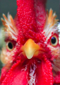 Are you talkin' to me? Posted to FB Chicken Life, Hen Chicken, Chicken Humor, Chicken Art, Chicken Eggs, Farm Animals, Funny Animals, Cute Animals, Beautiful Chickens