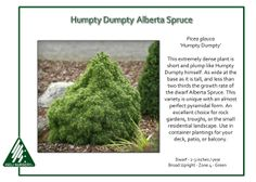 "Iseli Nursery: ""Where the Beauty of Nature Meets the Artistry of Man""® The home of 12 Months of Color®, Living Art®, Dwarf Conifers and Jack Frost® Maples. Dwarf Alberta Spruce, Nursery Rhyme Characters, Humpty Dumpty, For Sale Sign, Almost Perfect, Evergreen, Herbs, Landscape, Plants"