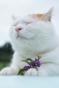 紫式部 Cool Cats, I Love Cats, Crazy Cats, Smiling Cat, Kitten Photos, Japanese Cat, Kinds Of Cats, Cat Crafts, Here Kitty Kitty