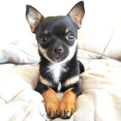 Please love me via @teo_pipo Send your favorite pictures to be featured to luvchihuahuas247@gmail.com #chihuahua #chihuahuasofinstagram #chihuahualove #chihuahualife #cutechihuahuas #chihuahuafanatics #puppy #cute #chilove #chihuahuaoftheday #cutedoggy #chihuahualover #woof #dogsofinstagram #puppylove #puppies #doglovers #chihuahuas #instadog #pets #teacupchihuahuas #instachihuahuas #ilovemychihuahua #dogoftheday #furbaby #chihuahualove #teacupchihuahuasofinstagram #chihuahuaworld #pawsome…