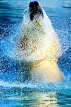 Even the polar bear is more elegant coming out of the water then me. Beautiful Creatures, Animals Beautiful, Cute Animals, Wild Animals, Baby Animals, Power Animal, Animal Magic, Bear Pictures, Animal Pictures