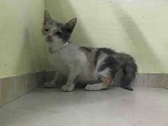 SAFE at Anjellicle Cat Rescue! My name is MARION ID # A1014494. I am a female calico dsh, about 9 WEEKS old.MARION IS A CUTE AND RELAXED 9 WEEK OLD DILUTE CALICO.......While she is over 8 weeks, she is still under 2 lbs and will need a NEW HOPE rescue to pull her..CAN YOU FOSTER THIS LITTLE LADY?? SHE WOULD LOVE TO HAVE A HOME TO RECOVER IN....