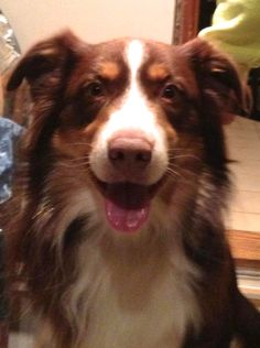 Spring Lake, NJ -- Hi, My name is Scooby and I am a one year old Australian Shepherd. Due to no fault of mine I am looking for a new forever home.  I would love for you to come and meet me, please call  Rescue Ridge for details.