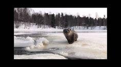 Saukkoja Kajaaninjoella talvella 2009-2010 - YouTube