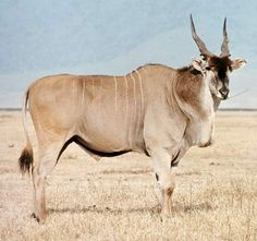 Giant Eland | Creature Feature: Giant Eland.