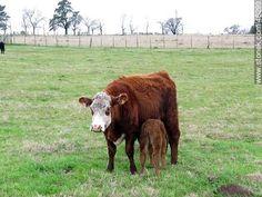 Vaca amamantando a su ternero - Fotos del Interior Uruguayo - URUGUAY. Imagen #46290