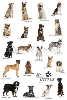 cartel de razas de perro en Español