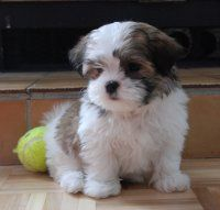 maltese + yorkie = morkie.. i might be ok with this  :)