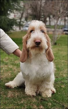 Grand Basset griffon vendeen - omg its so adorable, I'm going to cry!