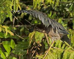 Green Heron Preens