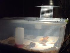We did not divide the brooder in half the other way because we would have chicks not under the light and ones that would no