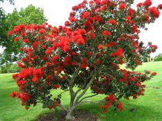 Myrtaceae Metrosideros excelsa New Zealand Christmas tree