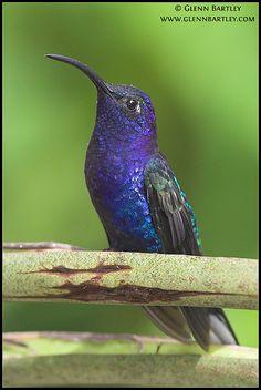 ~~Violet Sabrewing Hummingbird by Glenn Bartley~~