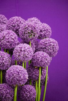 I love Allium...hard to believe it is a 'lily', related to garlic and onions... ;~>