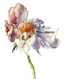Flower Drawing Rosie Sanders The morning's light Watercolour on Arches paper x x - Botanical Flowers, Botanical Prints, Watercolor Flowers, Watercolor Paintings, Watercolours, Wilted Flowers, Plant Drawing, Botanical Drawings, Poppies