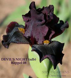 Iris DEVIL'S NIGHT | Stout Gardens at Dancingtree