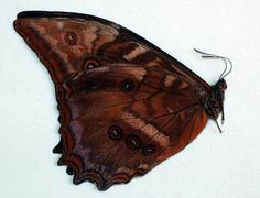 Morpho Butterfly (Ampithrion Azurita Species Butterflies, South Peru Insect Collection)