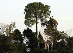 Castanheira-do-pará (Bertholletia excelsa). Árvore de grande porte, conhecida também como castanha-do-Brasil, adulta alcança de 30 a 50 m de altura. Natural da Amazônia, onde o clima é tropical e úmido. Seu fruto, o ouriço, fornece a castanha, as sementes da árvore. Floresce na passagem da estação seca para a chuvosa (setembro a fevereiro). Por volta do mês de julho suas folhas caem totalmente. Seus frutos levam de 12 a 15 meses para amadurecer e caem entre janeiro e fevereiro.