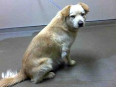 *MARCO - ID#A755730  Shelter staff named me MARCO.  I am a male, blonde and white Chow Chow mix.  The shelter staff think I am about 2 years...