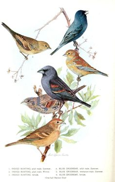Free printable - Bird - Indigo Grossbeak