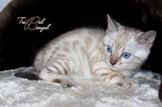 Chatterie Tribal Bengal