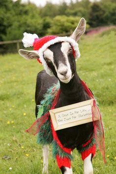 Christmas Goat!  This looks like my lap goat Rambo...except he would be eating the outfit.