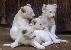 The seven-week-old lion cubs - one female and three male - were born on Christmas day at the Magdeburg Zoo in Gemrnay, and now weigh between eight and 11 kilograms each