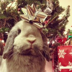 The Daily Bunny's Christmas 2013 Mega-Post! - December 26, 2013 - LOTS more at the link: http://dailybunny.org/2013/12/26/the-daily-bunnys-christmas-2013-mega-post-image-heavy/ !