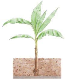 Quelle protection pour le bananier en hiver ? Herbs, Plants, Herb, Planters, Plant, Spice, Planting