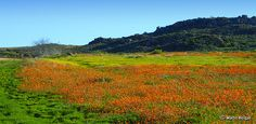 Wildflowers | Namaqualand | South Africa #SouthAfrica View Image, Wild Flowers, South Africa, Fields, Cool Photos, Succulents, Mountains, Landscape, World