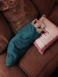 My Burrito Westie Sleepy Comfy