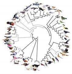 Rapid evolution #Genome of 48 #bird species - 45 new Phylogenetic tree (C) Jon Fjelds