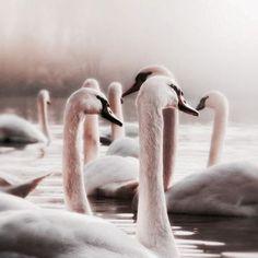 Pink Swan song at Midnight Tea Menagerie Capricorn Moon, Swan Lake, Belleza Natural, Black Swan, Beautiful Creatures, Pet Birds, Fairy Tales, Cute Animals, Aesthetics