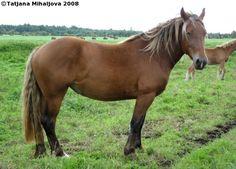 Estonian Draught - mare Nisu