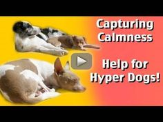 Capturing Calmness- how to train calmness in dogs- dog training - This video is a tutorial on how to teach your puppy or dog to be calm.   Some dogs need help to learn how to relax. Calmness does not come naturally to some breeds .By reinforcing your dog for being calm, your dog will start to choose calmer behaviors in the future and actually enjoy being calm.   Tips for teaching a Default Settle:  Don't  drop treats if the dog looks up at your hand as you move to give the dog the treat…